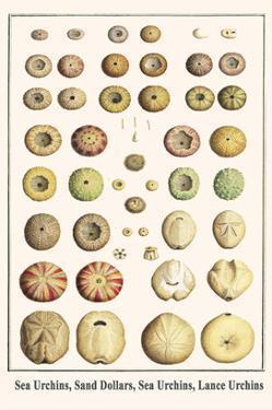 Sea Urchins, Sand Dollars, Sea Urchins, Lance Urchins by Albertus Seba