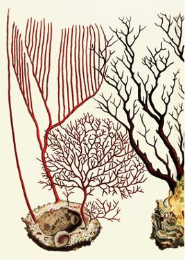Sea Whip, Coral, Cabinet of Natural Curiosities (1734-1765) by Albertus Seba