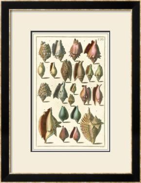 Seba Shell Collection III by Albertus Seba