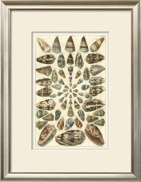 Seba Shell Collection V by Albertus Seba