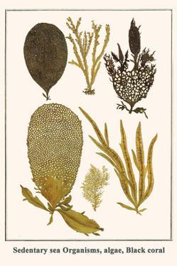 Sedentary Sea Organisms, Algae, Black Coral by Albertus Seba