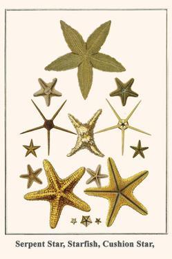 Serpent Star, Starfish, Cushion Star, by Albertus Seba