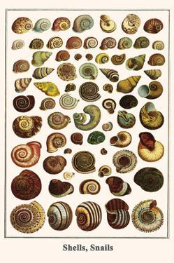 Shells, Snails by Albertus Seba