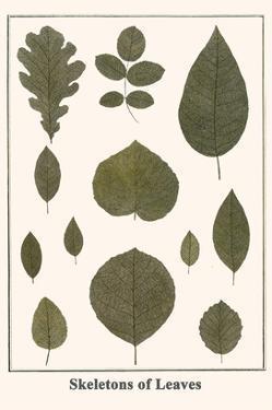 Skeletons of Leaves by Albertus Seba