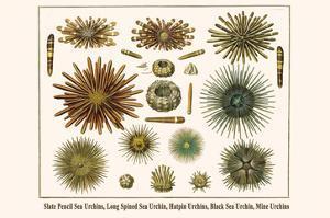 Slate Pencil Sea Urchins, Long Spined Sea Urchin, Hatpin Urchins, Black Sea Urchin, Mine Urchins by Albertus Seba