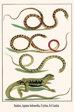 Snakes, Agama Indonedia, Ceylon, Sri Lanka by Albertus Seba