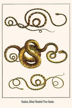 Snakes, Blunt Headed Tree Snake by Albertus Seba