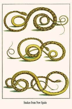 Snakes from New Spain by Albertus Seba