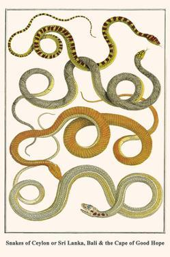 Snakes of Ceylon or Sri Lanka, Bali and the Cape of Good Hope by Albertus Seba
