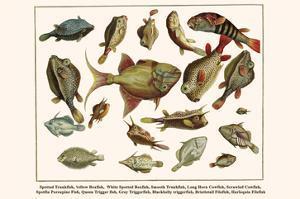 Spotted Trunkfish, Yellow Boxfish, White Spotted Boxfish, Smooth Trunkfish, etc. by Albertus Seba