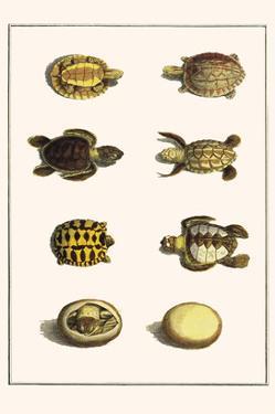 Three Keeled Land Tortoise, Star Tortoise, Green Turtles and Egg by Albertus Seba