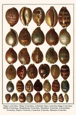 Tiger Cowries, Map Cowries, Atlantic Deer Cowries, Egg Cowries, Mole Cowries, Humback Cowries, etc. by Albertus Seba