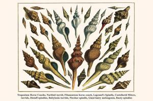 Trapezium Horse Conchs, Narbled Turrid, Filamentous Horse Conch, Legrand's Spindle, etc. by Albertus Seba