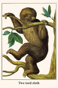 Two Toed Sloth by Albertus Seba