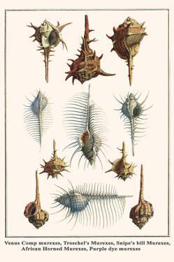 Venus Comp Murexes, Troschel's Murexes, Snipe's Bill Murexes, African Horned Murexes, etc. by Albertus Seba