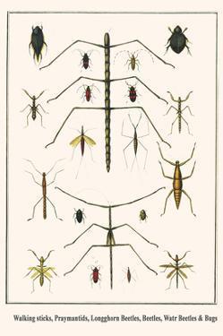 Walking Sticks, Praymantids, Longghorn Beetles, Beetles, Watr Beetles and Bugs by Albertus Seba