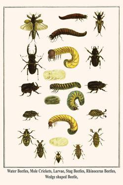 Water Beetles, Mole Crickets, Larvae, Stag Beetles, Rhinoceras Beetles, Wedge Shaped Beetle, by Albertus Seba