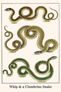 Whip and a Clumbrine Snake by Albertus Seba