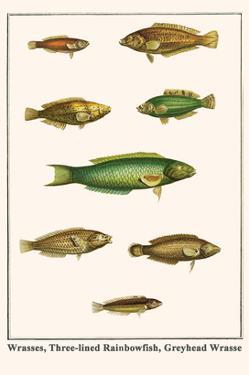 Wrasses, Three-Lined Rainbowfish, Greyhead Wrasse by Albertus Seba