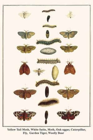 Yellow Tail Moth, White Satin, Moth, Oak Eggar, Caterpillar, Fly, Garden Tiger, Woolly Bear by Albertus Seba