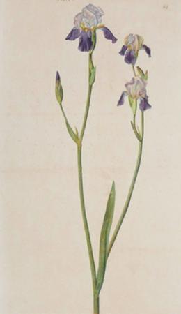 Iris (detail) by Albrecht Dürer