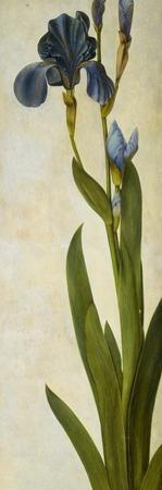 Iris by Albrecht Dürer