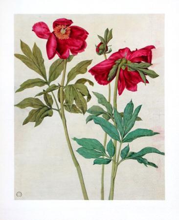 Peonies by Albrecht Dürer