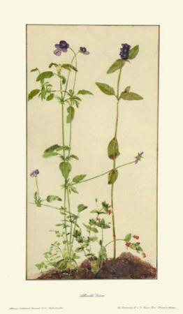 Three Medicinal Herbs: Pansy, Brunella, Anagallis by Albrecht Dürer