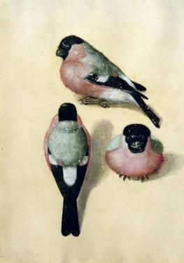 Three Studies of a Bullfinch by Albrecht Dürer