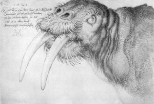 Albrecht Durer (Head of a walrus)