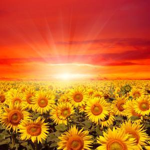 Field of Sunflowers and Sun in the Blue Sky. by Ale-ks