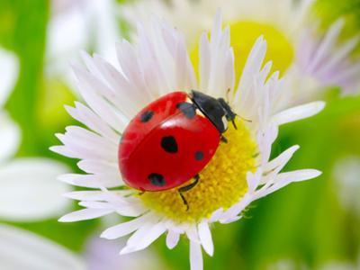 Ladybug Sits On A Flower Petal by Ale-ks