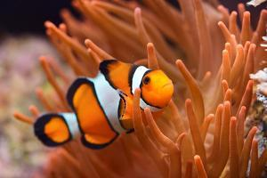 Amphiprion Ocellaris Clownfish in Marine Aquarium by Aleksey Stemmer