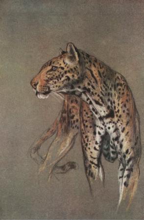 Alert Leopard