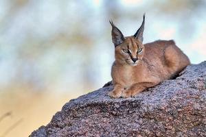 Caracal by Alessandro Catta