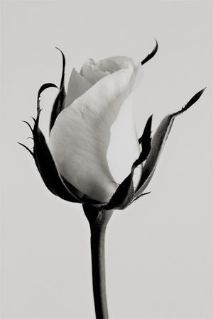white rose 2019 (photography)