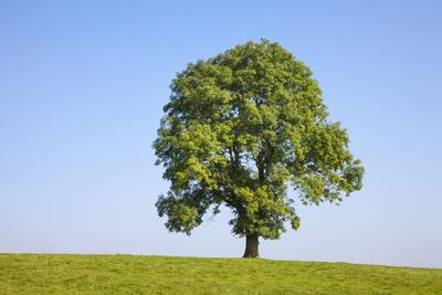 Ash Tree (Fraxinus Excelsior) Growing In A Field