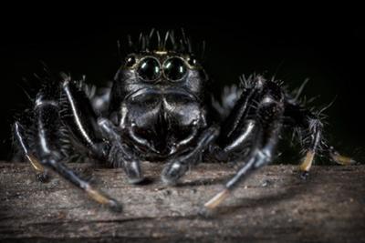 Black Jumping Spider (Salticidae) by Alex Hyde