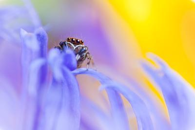 Jumping Spider (Euophrys Frontalis) Male Amongst Flower Petals