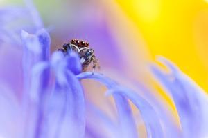 Jumping Spider (Euophrys Frontalis) Male Amongst Flower Petals by Alex Hyde