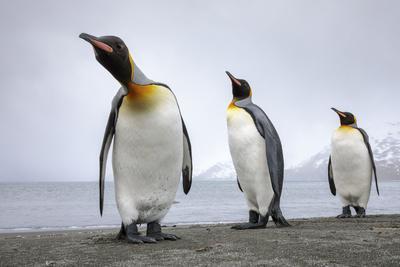 King penguins group, St. Andrews Bay, South Georgia