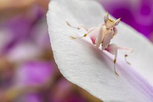 Malaysian Orchid Mantis (Hymenopus Coronatus) Pink Colour Morph, Camouflaged On An Orchid by Alex Hyde