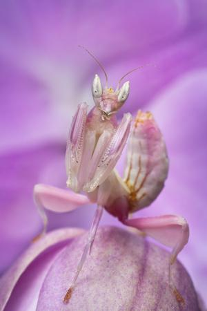 Malaysian Orchid Mantis (Hymenopus Coronatus) Pink Colour Morph, Camouflaged On An Orchid