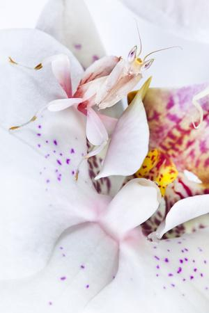 Malaysian Orchid Mantis (Hymenopus Coronatus) White Colour Morph Camouflaged On An Orchid