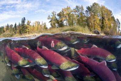 A Split Level Photo Of Group Of Sockeye Salmon (Oncorhynchus Nerka) Fighting Their Way Upstream by Alex Mustard