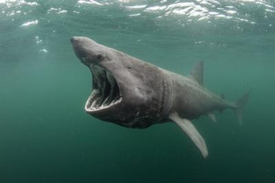 Basking Shark (Cetorhinus Maximus) Feeding at the Surface on Plankton, Cairns of Coll, Scotland, UK by Alex Mustard