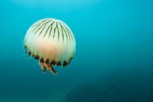 Compass Jellyfish (Chrysaora Hysoscella) Swimming over a Rocky Reef, Plymouth, Devon, UK, August by Alex Mustard