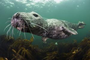 Female Grey Seal Juvenile Swimming over Kelp, Off Farne Islands, Northumberland by Alex Mustard