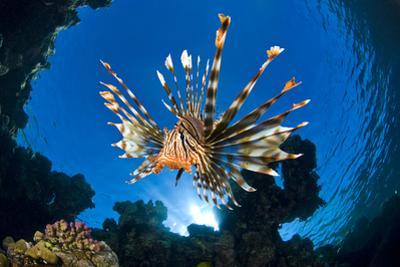 Female Lionfish (Pterois Volitans) On Coral Reef. Jackfish Alley, Ras Mohammed Marine Park, Sinai by Alex Mustard