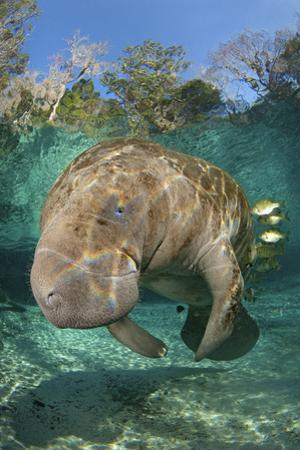 Florida Manatee (Trichechus Manatus Latirostrus) Cleaned By Blue Gill Sunfish (Lepomis Macrochirus) by Alex Mustard